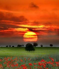 Sunset on poppies