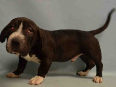 ●6•28•16 STILL THERE●**PUPPY ALERT** - JACOBI - #A1078089 - Urgent Manhattan - MALE CHOCOLATE/WHITE STAFFORDSHIRE/BASSET HOUND, 6 Mos - OWNER SUR - EVALUATE, NO HOLD Reason TOO MANY PETS - Intake 06/19/16 Due Out 06/19/16 - CAME IN WITH AURELIS - #A1078087; BLANCA #A1078085