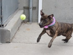 6/29/16 STILL THERE!! SUPER URGENT Brooklyn Center Brooklyn Center My name is KINU. My Animal ID # is A1065289. I am a female br brindle and white am pit bull ter mix. The shelter thinks I am about 7 YEARS old. I came in the shelter as a OWNER SUR on 02/17/2016 from NY 11221, owner surrender reason stated was MOVE2PRIVA.