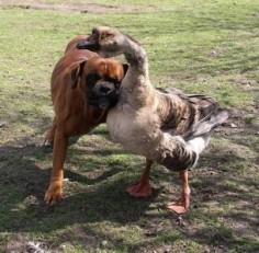 ..A blind boxer named Baks got a whole new lease on life thanks to a goose named Buttons. The goose leads Baks around everywhere either by hanging onto him with her neck, or by honking to tell him which way to go. Owner Renata Kursa, of Lublin, Poland, was heartbroken when Bak was left blind after an accident. 'But gradually Buttons got him up on his feet and started walking him around. They're inseparable now - they even chase the postman together.'Awww