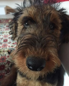 Airedale Terriers : Photo