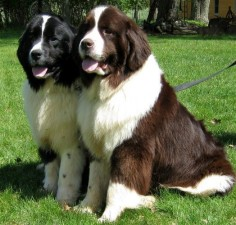 Beautiful couple of newfies ♥