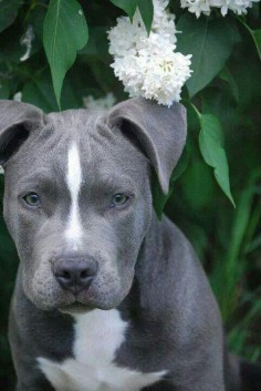 beautiful Pit Bull