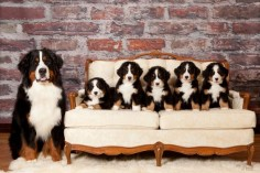 Bernese Mountain Dog with puppies