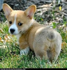 cute-corgi-bum
