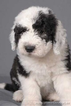 DOG, CAT & HORSE: Bobtail - Old English Sheepdog puppy dogs #oes