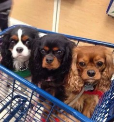 from left to right is tricolor (white, tan and black), black and tan, and thirdly a ruby Cavalier King Charles Spaniels