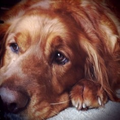 Golden Retreiver - this picture reminds me sooooo much of my golden.  my sweet Baxter!! :-(