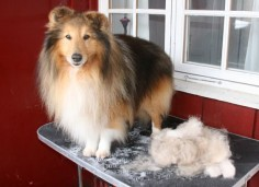 How to properly groom a sheltie.  The site doesn't show any  they can fix it?