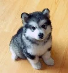 Image result for small dog breeds that stay small and don't shed