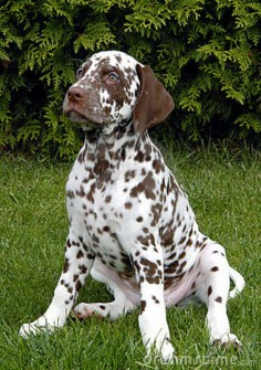 images of dalmatians signs | Dalmatian Stock Photography - Image: 19836822