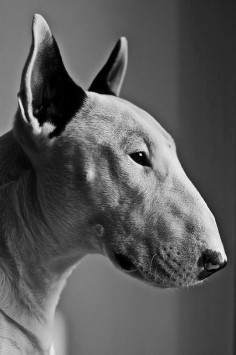 Love a Bull terrier! I want more