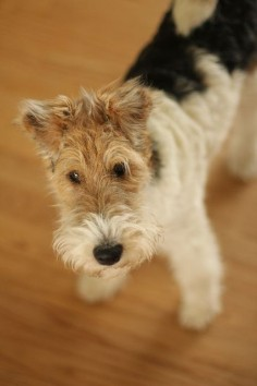 Lucy by Witty Girl, via Flickr. Wire fox terrier.