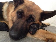 Mother With Her Baby german shepherds