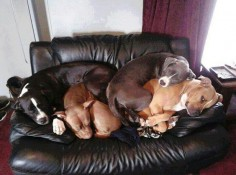 Never too crowded for more love! #dogs #pets #Pitbulls