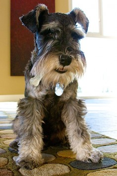 OMG this is such an adorable mini schnauzer❤️