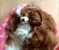 """Please stop snoring, it's every night!"" #dogs #pets #CavalierKingCharlesSpaniels"