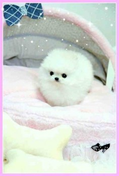 Quite possibly the cutest dog in the world. Micro Teacup Pomeranian Dog