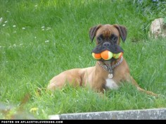 Silly Boxer dog Jessie doesn't like sharing with her sister, so she keeps three tennis balls all to herself!
