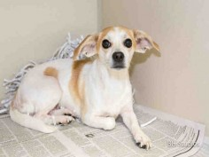 SUPER URGENT - HOUSTON - This DOG - ID#A420843 I am a female, white and brown Chihuahua - Smooth Coated and Jack russell. My age is unknown. I have been at the shelter since Dec 06, 2014.