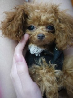 "This little red-head is a 1 year old teacup poodle and she's only 5-1/2"" tall. So adorable!"