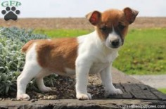 Zoey is a joyful Jack Russell Terrier puppy who loves to run around and play. This super sweet pup is up to date on shots and wormer, plus comes with a health guarantee provided by the breeder. Zoey is family raised with children and is used to getting lo